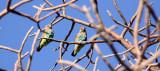 BIRD - PARROT - MEYER'S PARROT - POICEPHALUS MEYERI - PLANET BAOBAB RESERVE KALAHARI.JPG