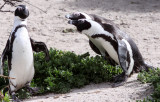 BIRD - PENGUIN - JACKASS OR AFRICAN PENGUIN - SIMON'S TOWN TABLE MOUNTAIN - SOUTH AFRICA (50).JPG