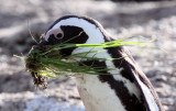 BIRD - PENGUIN - JACKASS OR AFRICAN PENGUIN - SIMON'S TOWN TABLE MOUNTAIN - SOUTH AFRICA (65).JPG