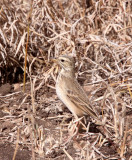 BIRD - PIPIT - AFRICAN GRASSVELD PIPIT - ANTHUS CINNAMOMEUS - KRUGER NATIONAL PARK SOUTH AFRICA (3).JPG