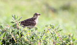 BIRD - PIPIT - LONG-BILLED PIPIT - ANTHUS SIMILIS - WEST COAST NATIONAL PARK SOUTH AFRICA.JPG