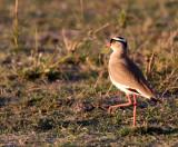 BIRD - PLOVER - CROWNED PLOVER OR LAPWING - KHWAI CAMP OKAVANGO BOTSWANA.JPG