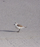 BIRD - PLOVER - WHITE-FRONTED PLOVER - CHARADRIUS MARGINATUS - BIRD ISLAND LAMBERT'S BAY SOUTH AFRICA (4).JPG