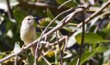 BIRD - PRINIA - TAWNY-FLANKED PRINIA - PRINIA SUBFLAVA - ETOSHA NATIONAL PARK NAMIBIA (2).JPG