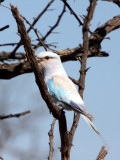 BIRD - ROLLER - EURASIAN ROLLER - KRUGER NATIONAL PARK SOUTH AFRICA.JPG