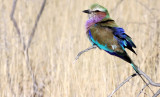 BIRD - ROLLER - LILAC-BREASTED ROLLER - ETOSHA NATIONAL PARK NAMIBIA (6).JPG