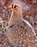 BIRD - SANDGROUSE - DOUBLE-BANDED SANDGROUSE - AUGRABIES FALLS SOUTH AFRICA (7).JPG