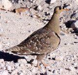 BIRD - SANDGROUSE - DOUBLE-BANDED SANDGROUSE - ETOSHA NATIONAL PARK NAMIBIA (4).JPG