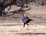 BIRD - SECRETARY BIRD - KGALAGADI NATIONAL PARK SOUTH AFRICA (5).JPG
