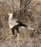 BIRD - SECRETARY BIRD - KRUGER NATIONAL PARK SOUTH AFRICA (6).JPG