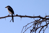 BIRD - SHRIKE - COMMON FISCAL SHRIKE - LANIUS COLLARIS - KGALAGADI NATIONAL PARK SOUTH AFRICA (7).JPG