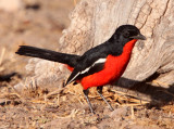 BIRD - SHRIKE - CRIMSON-BEASTED SHRIKE - LANIARIUS ATROCOCCINEUS - KGALAGADI NATIONAL PARK SOUTH AFRICA.JPG