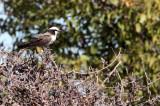 BIRD - SHRIKE - SOUTHERN WHITE-CROWNED SHRIKE - EUROCEPHALUS ANGUITIMENS - ETOSHA NATIONAL PARK NAMIBIA (3).JPG