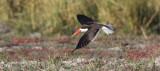BIRD - SKIMMER - AFRICAN SKIMMER - CHOBE NATIONAL PARK BOTSWANA (9).JPG