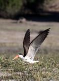 BIRD - SKIMMER - AFRICAN SKIMMER - RHYNCHOPS FLAVIROSTRIS - CHOBE NATIONAL PARK BOTSWANA.JPG