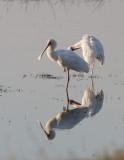 BIRD - SPOONBILL - AFRICAN SPOONBILL - CHOBE NATIONAL PARK BOTSWANA (9).JPG