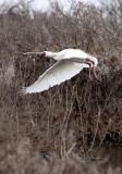 BIRD - SPOONBILL - AFRICAN SPOONBILL - DE HOOP RESERVE SOUTH AFRICA (12).JPG