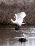 BIRD - SPOONBILL - AFRICAN SPOONBILL - DE HOOP RESERVE SOUTH AFRICA (9).JPG