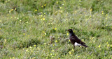 BIRD - STARLING - AFRICAN PIED STARLING - SPREO BICOLOR - WEST COAST NATIONAL PARK SOUTH AFRICA (2).JPG