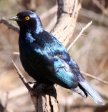 BIRD - STARLING - GREATER BLUE-EARED STARLING -  LAMPROTORNIS CHALYBAEUS - KRUGER NATIONAL PARK SOUTH AFRICA (2).JPG