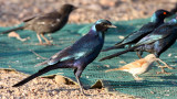 BIRD - STARLING - MEVE'S LONGTAILED STARLING - LAMPROTORNIS MEVESII - KRUGER NATIONAL PARK SOUTH AFRICA (4).JPG