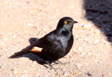 BIRD - STARLING - PALE-WINGED STARLING - ONYCHOGNATHUS NABOUROUP - AUGRABIES FALLS SOUTH AFRICA (6).JPG