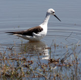 BIRD - STILT - BLACK-WINGED STILT - CHOBE NATIONAL PARK BOTSWANA (7).JPG