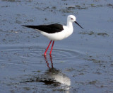 BIRD - STILT - BLACK-WINGED STILT - ELAND'S BAY SOUTH AFRICA (13).JPG