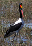 BIRD - STORK - SADDLE-BILLED STORK - CHOBE NATIONAL PARK BOTSWANA (5).JPG