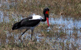 BIRD - STORK - SADDLE-BILLED STORK - CHOBE NATIONAL PARK BOTSWANA (8).JPG