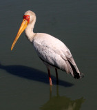 BIRD - STORK - YELLOW-BILLED STORK - KRUGER NATIONAL PARK SOUTH AFRICA (13).JPG