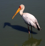 BIRD - STORK - YELLOW-BILLED STORK - KRUGER NATIONAL PARK SOUTH AFRICA (7).JPG