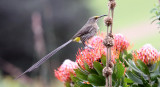 BIRD - SUGARBIRD - CAPE SUGARBIRD - PROMEROPS CAFER - CAPE TOWN ARBORETUM SOUTH AFRICA (2).JPG