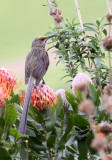 BIRD - SUGARBIRD - CAPE SUGARBIRD - PROMEROPS CAFER - CAPE TOWN ARBORETUM SOUTH AFRICA (6).JPG
