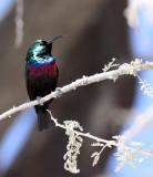 BIRD - SUNBIRD - MARICO SUNBIRD - CINNYRIS MARIQUENSIS - ETOSHA NATIONAL PARK NAMIBIA (21).JPG