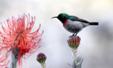 BIRD - SUNBIRD - SOUTHERN LESSER DOUBLE-COLLARED SUNBIRD - CAPE TOWN ARBORETUM SOUTH AFRICA.JPG