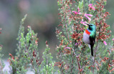 BIRD - SUNBIRD - SOUTHERN LESSER DOUBLE-COLLARED SUNBIRD - CINNYRIS CHALYBEUS - CAPE TOWN ARBORETUM SOUTH AFRICA (7).JPG