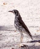 BIRD - THRUSH - GROUNDSCRAPER THRUSH - PSOPHOCICHLA LITSITSIRUPA - ETOSHA NATIONAL PARK NAMIBIA.JPG