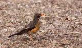 BIRD - THRUSH - KURRICHANE THRUSH - TURDUS LIBONYANUS - SAINT LUCIA NATURE RESERVE SOUTH AFRICA.JPG