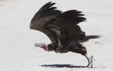 BIRD - VULTURE - LAPPET-FACED VULTURE - ETOSHA NATIONAL PARK NAMIBIA (12).JPG