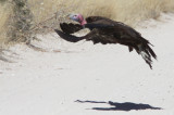 BIRD - VULTURE - LAPPET-FACED VULTURE - ETOSHA NATIONAL PARK NAMIBIA (14).JPG