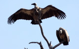 BIRD - VULTURE - WHITE-BACKED OR AFRICAN VULTURE - GYPS AFRICANUS - CHOBE NATIONAL PARK BOTSWANA (2).JPG
