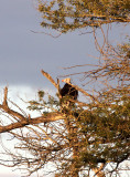 BIRD - VULTURE - WHITE-HEADED VULTURE - TRIGONOCEPS OCCIPITALIS - KURGER NATIONAL PARK SOUTH AFRICA.JPG