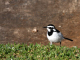 BIRD - WAGTAIL - AFRICAN PIED WAGTAIL - MOTACILLA AGUIMP - SAINT LUCIA WETLANDS RESERVE - SOUTH AFRICA.JPG