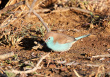 BIRD - WAXBILL - BLUE WAXBILL - IMFOLOZI NATIONAL PARK SOUTH AFRICA (4).JPG