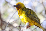 BIRD - WEAVER - CAPE WEAVER - PLOCEUS CAPENSIS - NAMAQUALAND - GOEGAP NATURE PRESERVE SOUTH AFRICA.JPG