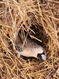 BIRD - WEAVER - SOCIABLE WEAVER - PHILETAIRUS SOCIUS - ETOSHA NATIONAL PARK NAMIBIA (20).JPG