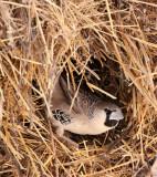 BIRD - WEAVER - SOCIABLE WEAVER - PHILETAIRUS SOCIUS - ETOSHA NATIONAL PARK NAMIBIA (21).JPG