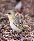 BIRD - WEAVER - SOUTHERN MASKED WEAVER - PLOCERUS VELATUS - KAROO NATIONAL PARK SOUTH AFRICA (10).JPG