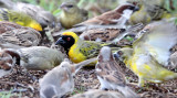 BIRD - WEAVER - SOUTHERN MASKED WEAVER - PLOCERUS VELATUS - KAROO NATIONAL PARK SOUTH AFRICA (2).JPG